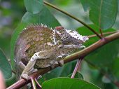 female of two horned chameleon, Kinyongia multituberculata, in Usambara mountains Tanzania poster