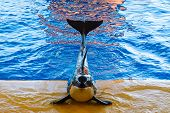 killer whale poses during a show at the Oceanarium poster