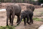 The Asian or Asiatic Elephant (Elephas Maximus) also known by the name of one of its subspecies - the Indian Elephant is one of the two living species of elephant and the only living species of the genus Elephas. poster