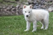 Arctic wolf pup profile, with creek in the background poster