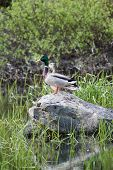 A pair of mallards are perched on a boulder in a wetlands area. poster