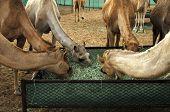 Camels at a feeding trough in a camel farm Dubai United Arab Emirates poster