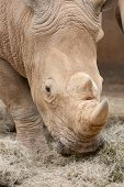 This is a Brown Rhino eating in africa poster