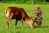 world-class red deer stag in velvet, West Coast, New Zealand poster
