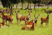 Red deer stags in velvet, West Coast, New Zealand poster