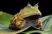 Pacman frog or toad, South American horned frogs Ceratophrys cornuta Tropical rain forest animal living in the Amazon rainforest of Brazil Suriname kept as exotic pet animal poster