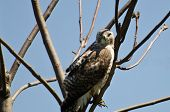 A Young Red-Tailed Hawk Making Eye Contact poster