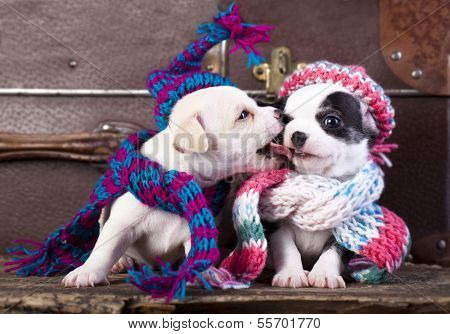 chihuahua puppies couple wearing a knit hat