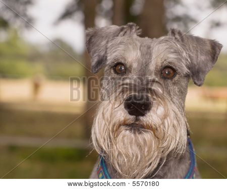 Miniature Schnauzer Dog With An Innocent Look On His Face