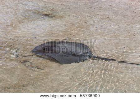 Stingray In Shallow Water