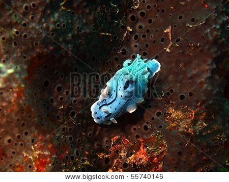 Underwater inhabitants of sea depths of strait Cebu, island Maktan, sea slug poster