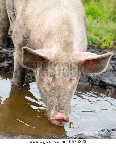 Pig Sifting Through Puddle