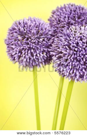 Three Purple Alium Flowers