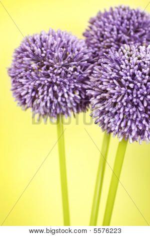 Three Purple Alium Flowers