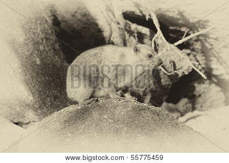 Old Sepia Picture Small Dassie On Rocks
