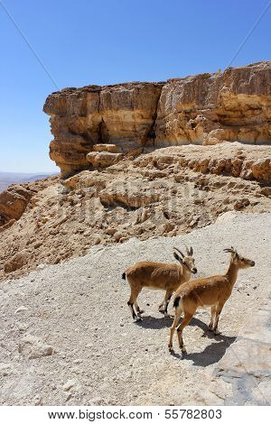 Pair Of Young Of Mountain Goats