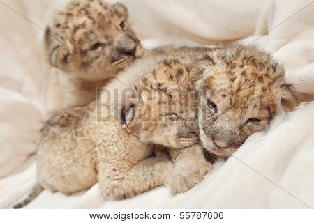 Three cute lions cubs (Panthera leo), two weeks old poster
