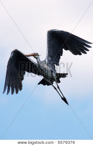 Grey Heron in flight with a fish in his beak poster