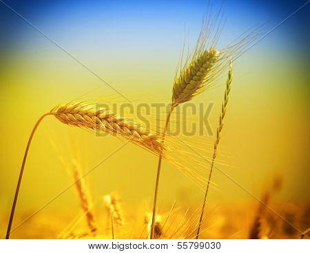 gold yellow wheat