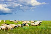 Sheep feeding on a grass. Blue sky with clouds. poster