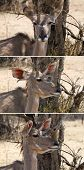 Three Picture Series of Kudu Ear Positions when Listening poster