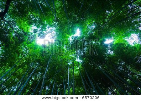 An Upward Perspective Shot Of A Bamboo Forest In Arashiyama, Japan