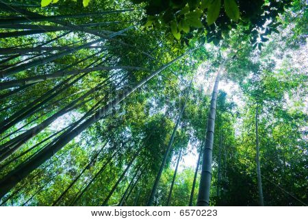 A Second Upward Perspective Shot Of A Bamboo Forest In Arashiyama, Japan