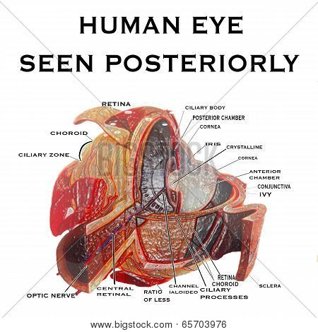Human Eye Seen Posteriorly Background