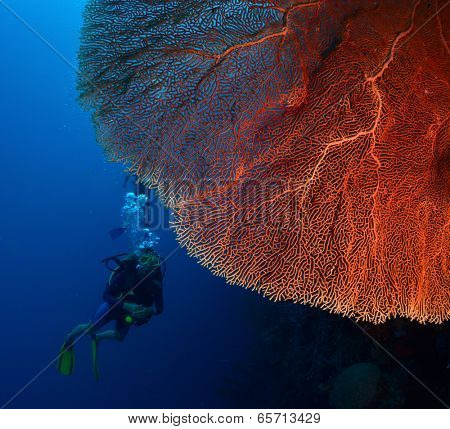 Diver in the depth near the huge red coral. poster