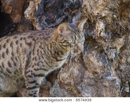 A spotted Ocicat appears to be stalking prey against the background of an interesting gnarly tree. poster