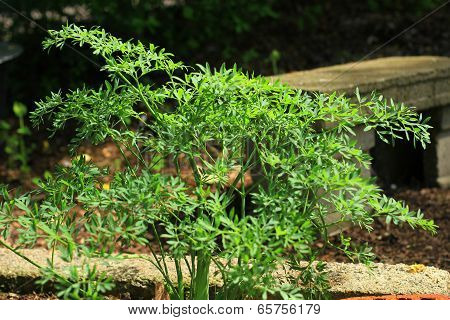 Mountain Sermountain (Laserpitium siler)