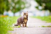 adorable maine coon kitten outdoors in summer poster