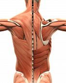 Muscular Anatomy of the Back isolated on white background. 3D render poster