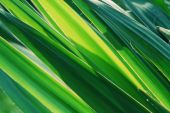 Grenn yucca leaves glowing in the sun poster