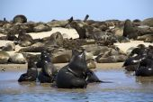 Kayaking around Pelican Point with seal colonies all around walvis Bay Nambia poster