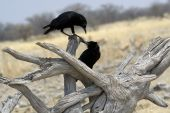 Two black birds playing on dead trees at a waterhole in etosha National park poster