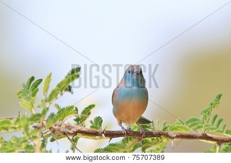 Blue Waxbill - African Wild Bird Background - Colorful Nature