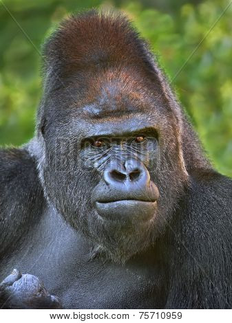 Closeup portrait of a gorilla male severe silverback on green background. Menacing expression of the great ape the most dangerous and biggest monkey of the world. poster