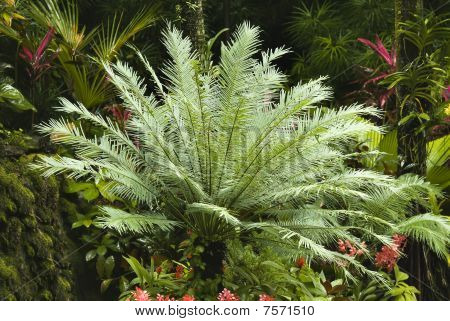 A Cicas palm in a botanic garden poster