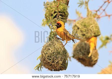 Yellow Weaver - African Wild Bird Background - Home Sweet Home