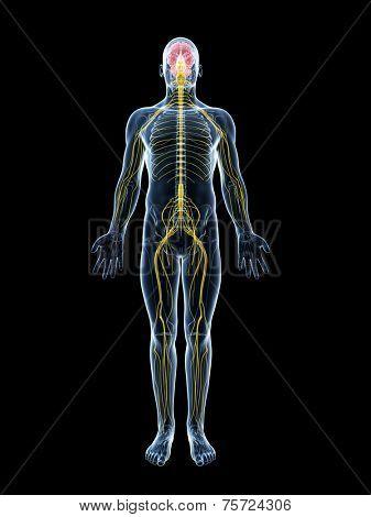 3d rendered illustration of the male nerve system