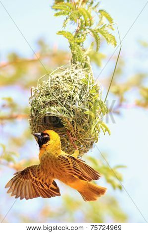 Yellow Weaver - African Wild Bird Background - Hanging on to Home