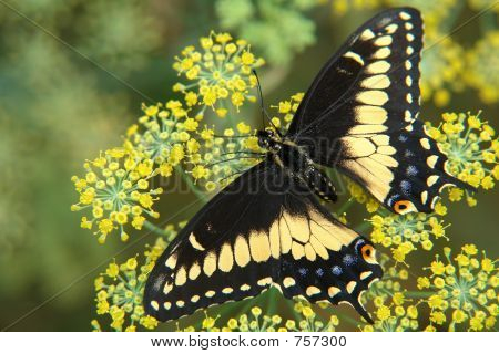 the ecuadorian butterfly sitting on flower