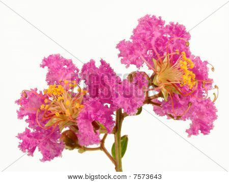 Lilac Crepe Myrtle Flower