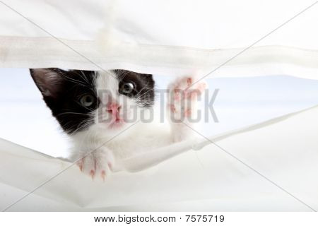 Kitten Look Up Through A Curtain