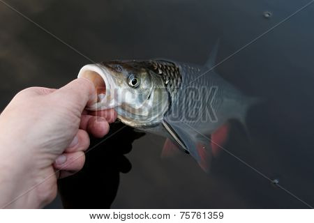 Fisherman is handling a chub by its lower lip