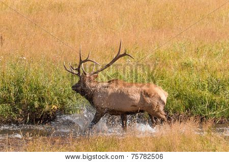 a bull elk in rut crossing a stream poster