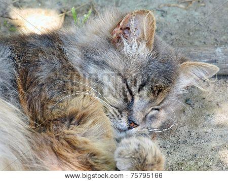 Gray Cat Dozing.
