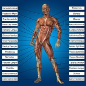 Concept conceptual 3D human anatomy and muscle text on blue gradient background, metaphor to body, tendon, spine, fit, builder, strong, biological, skinless, shape, muscular, posture, health medical poster