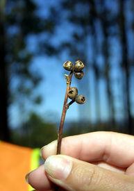 Gum tree seed